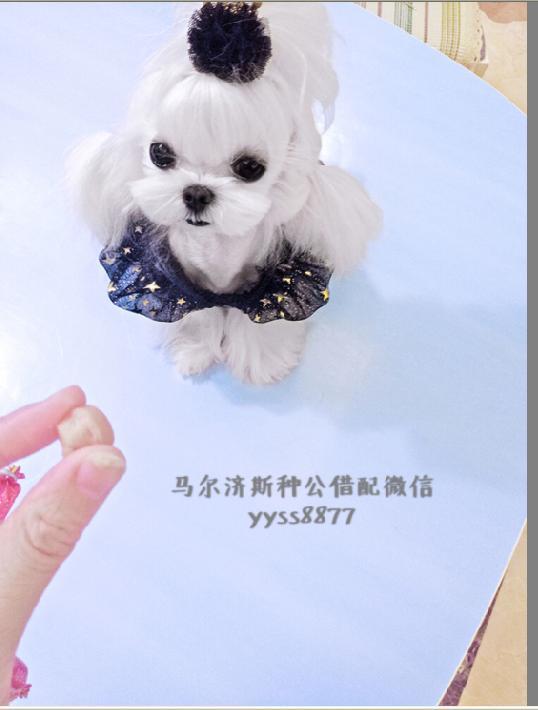 上海韩国双血系马尔济斯幼犬出售、种公借配