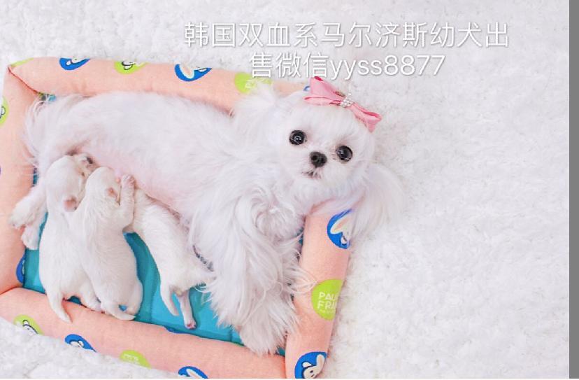 上海韩国双血系马尔济斯幼犬 领养转让