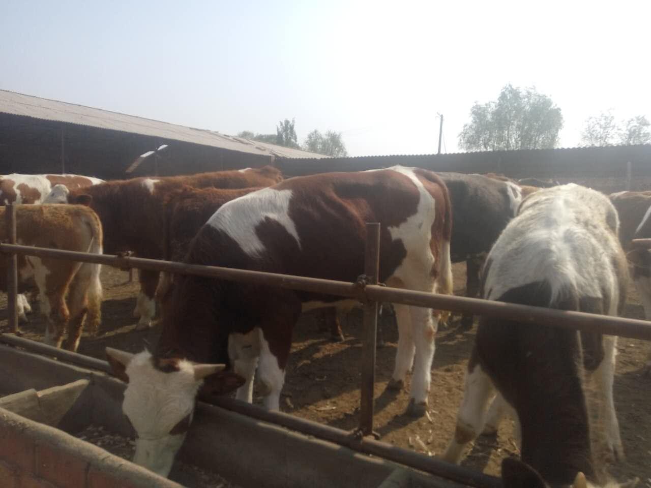 大量出售自家养殖的肉牛