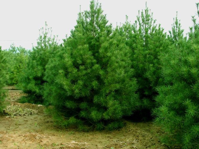 出售黑松侧柏五角枫华山松等绿化以及各类果树苗木