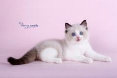 高品质布偶猫 样貌甜美 多只可选 送用品
