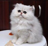英国短毛猫 苏格兰折耳猫 高地长毛猫