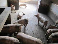 猪喂什么长得最快 猪饲料添加剂效果好么