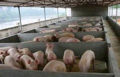 猪快速催肥方法 猪要怎么喂才能长得快