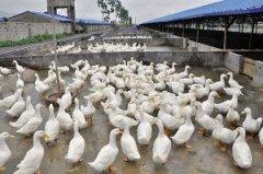 肉鸭增肥的妙招 肉鸭专用催肥药