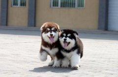 云南昆明买狗卖狗狗场常年卖纯种阿拉斯加