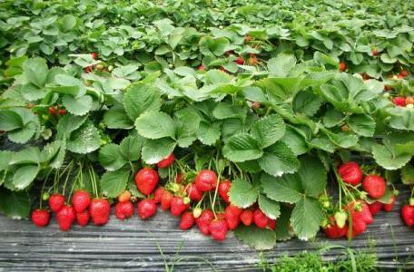 上海奉贤草莓采摘活动3种品种草莓酸甜可口