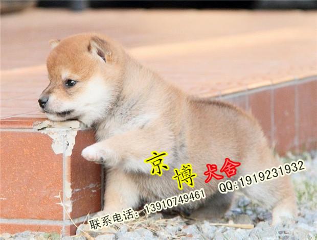 纯种日系柴犬出售 赛系黑色柴犬 北京京博犬舍直销