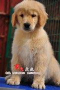 赛级金毛犬 三个月金毛幼犬出售 金毛出售