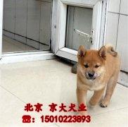 柴犬幼犬出售 三个月柴犬多少钱一只 北京柴犬犬舍