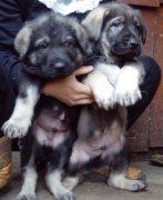 郑州买昆明犬请进 狗场常年出售昆明犬欢迎选购